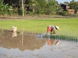 Can genetically modifying crops like rice help solve world hunger problems? Image by: Ondřej Žváček